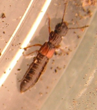 Red-plated rove beetle