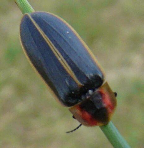 File:Pyractonema dispersa.jpg