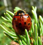 Anatis mali ladybird