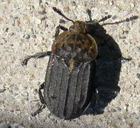 Northern carrion beetle1