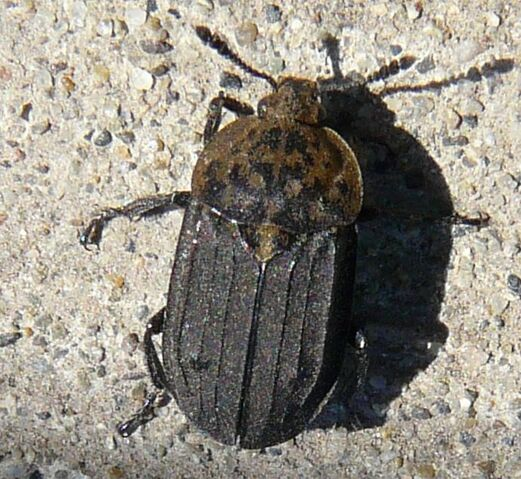 File:Northern carrion beetle1.jpg