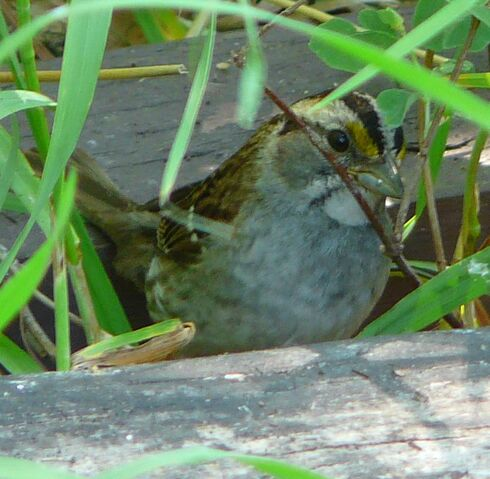 File:White-throated Sparrow.jpg