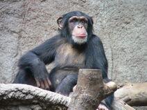Schimpanse Zoo Leipzig