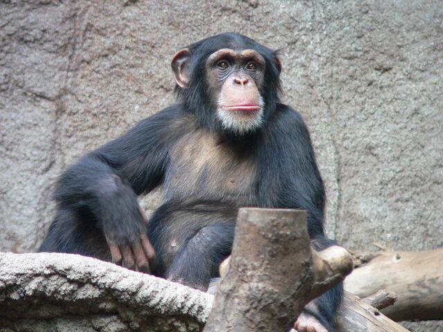 File:Schimpanse Zoo Leipzig.jpg