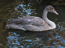 File:Juvenile Trumperter Swan.jpg