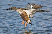 Northern Shoveler In flight