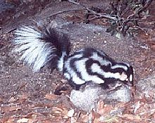 File:Western Spotted Skunk.jpg