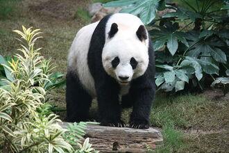 800px-Grosser Panda