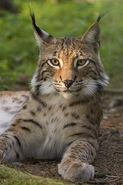 Lynx real life