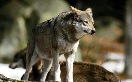 File:Wolf-animal-wallpaper-445x278-419.jpg