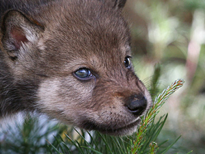 File:Russian-wolf-pup.jpg