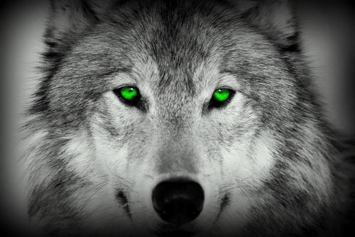 File:Wolf green eyes.jpg