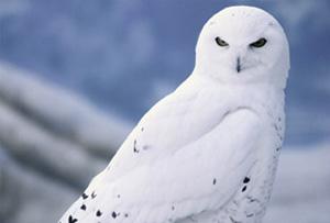 File:Snowyowllarge.jpg
