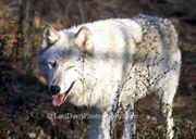 One Eyed Wolf