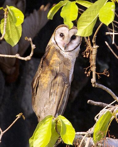 File:Sulawesi owl Q0S0008.jpg.jpg