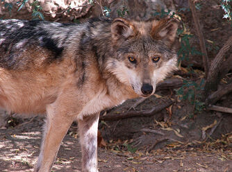 Mexican Wolf 003