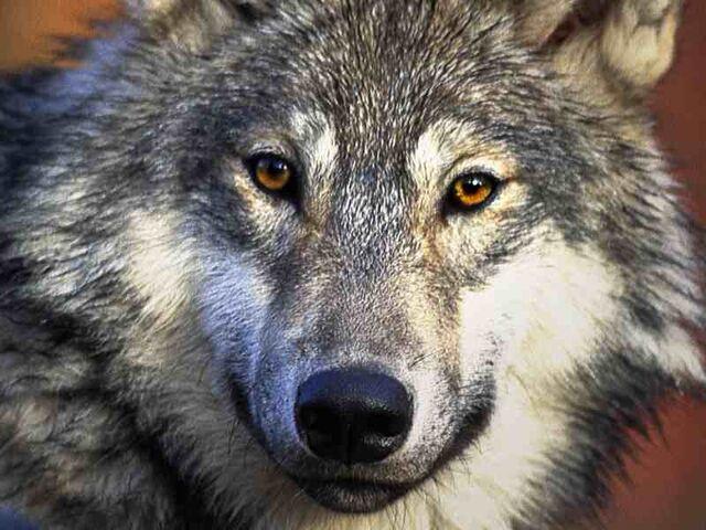 File:Wolf-desktop-800x600.jpg