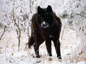 Black-wolf-in-snow-beautiful-eyes-kewl