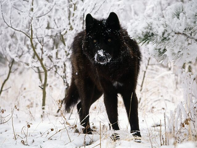 File:Black-wolf-in-snow-beautiful-eyes-kewl.jpg