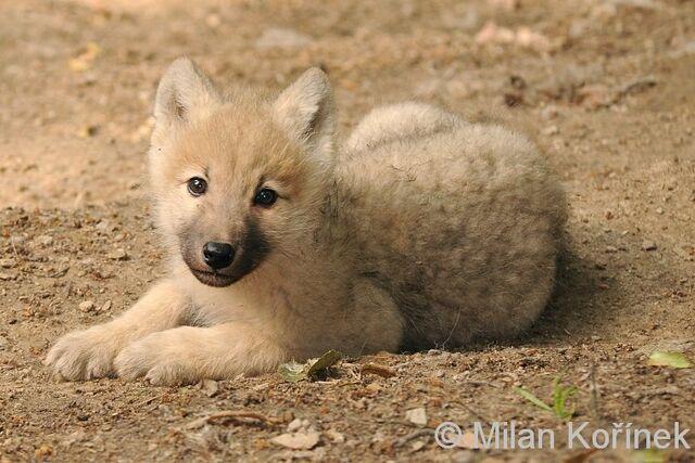 File:Hb wolf pup2.jpg