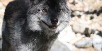 Hokkaido wolves