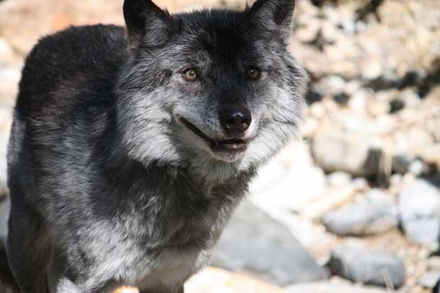 File:Hokkaido wolf.jpg