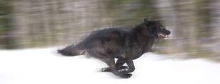 Aawolf4