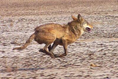 Iranian wolf 1
