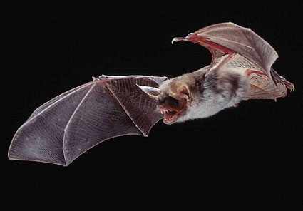 File:Greater-mouse-eared-bat-photo-10.jpg