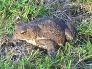 Common-toad-3