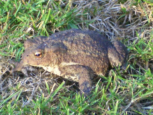 File:Common-toad-3.jpg