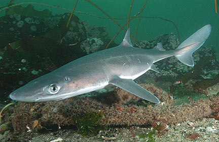File:Spiny dogfish 2.jpg
