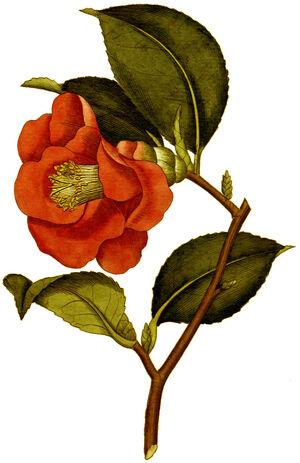 BotMag-0096-0042-Camellia japonica