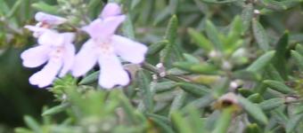 Rosemary detail