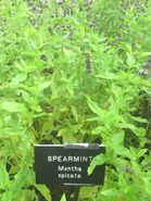 Spearmint Mentha spicata in Hardwick Hall garden 2012