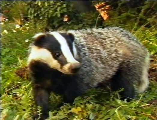 File:Eurasian Badger.jpg