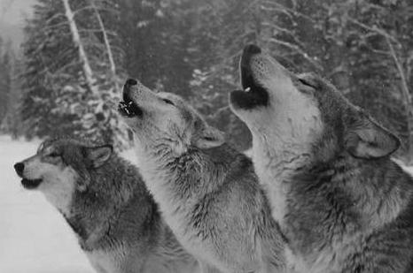 檔案:Wolves-howling.jpg