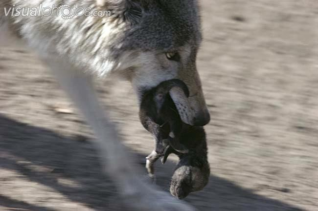 Image - Timber wolf canis lupus mother carrying pup in her ...