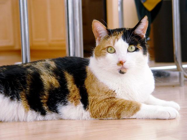 File:Calico cat - Phoebe.jpg