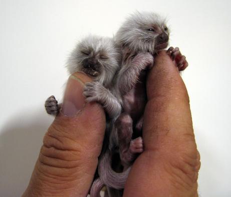 File:Albino-pygmy-marmoset.jpg