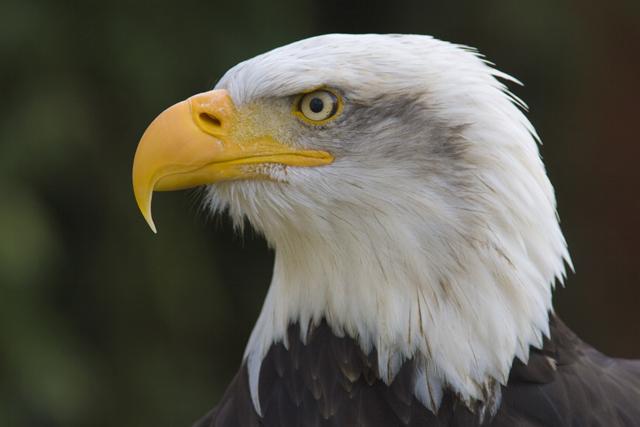 File:Bald-eagle.jpg