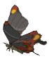 File:Smotherwing butterfly.png