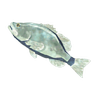 File:Breath of the Wild Frozen Fish (Bass) Frozen Bass (Icon).png