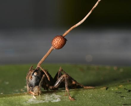 File:Cordyceps on ant.png