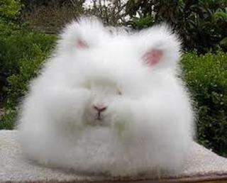 File:Angora rabbit.jpg
