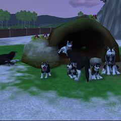 A pack of huskies.
