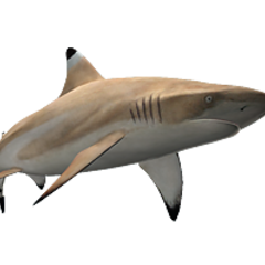 Blacktip Reef Shark remake.