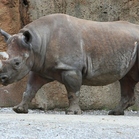 A Black rhinoceros at the Saint Louis Zoo