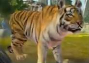 ZTXbox - Siberian Tiger
