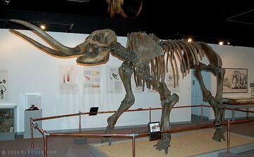 American-mastodon